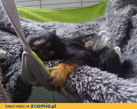 Małpka tamaryna złotoręka ręcznie karmiona
