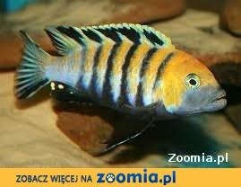rybki pyszczaki cynotilapia afra cobue