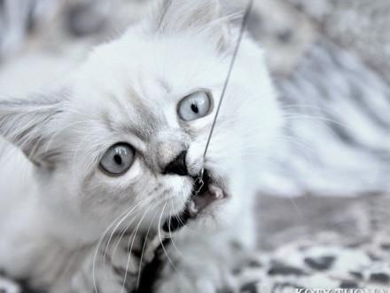 Kotka Brytyjska Długowłosa colour-point Niebieskie oczy