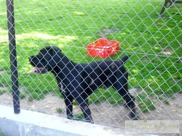 cane corso pies 2 lata z rodowodem