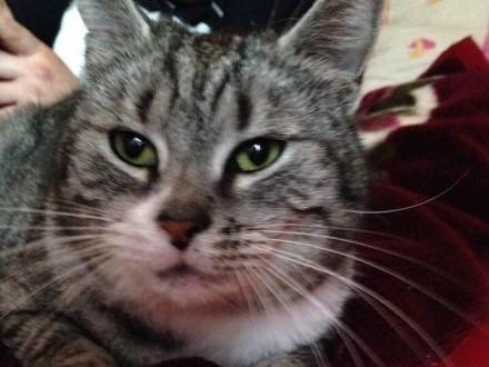 Zaginęła kotka Tosia