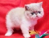 Koteczka Egzotyk kremowo-biała, W-wa, FPL