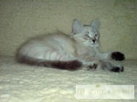 Kotka hodowlana NEM Hodowla Kotów Syberyjskich Gabelin Fort PL