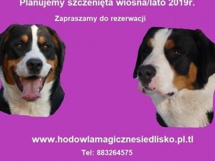 Duży Szwajcarski Pies Pasterski szczeniaki miotwiosna/lato 2019r