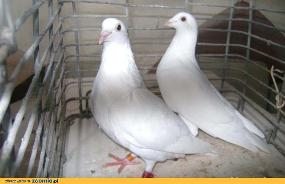 Gołębie białe pocztowe lotniki -samczyk i samiczka.