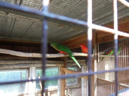 Papuga królewska  szkarłatka