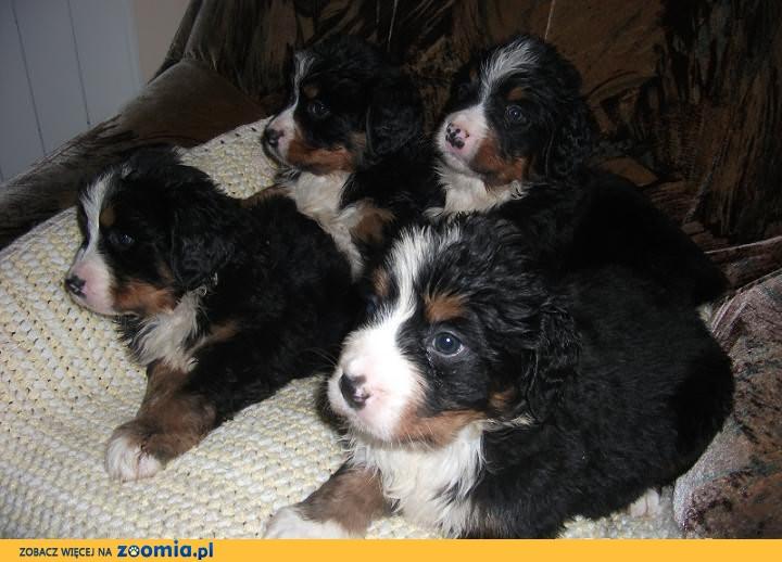 Berneński Pies Pasterski-szczeniaki