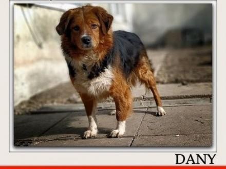 Do domu z ogrodem średni 18 kg przyjazny świetny psiak DANYAdopcja    śląskie Katowice