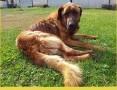 Leonberger mix,zjawiskowy pies LEON,duży,inteligentny,spokojny.PILNA ADOPCJA!,  małopolskie Kraków