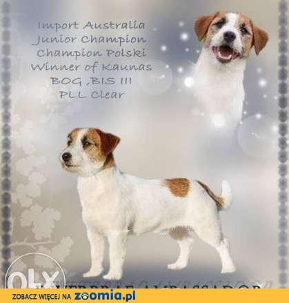 Jack Russell Terrier - Reproduktor , Champion , import Australia