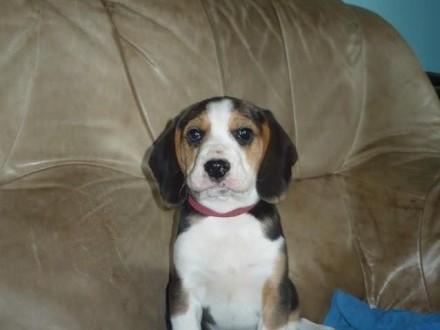 Beagle piękne szczenięta