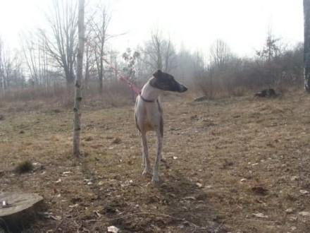 Chart greyhound!