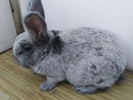 Sprzedam królika samca WJS
