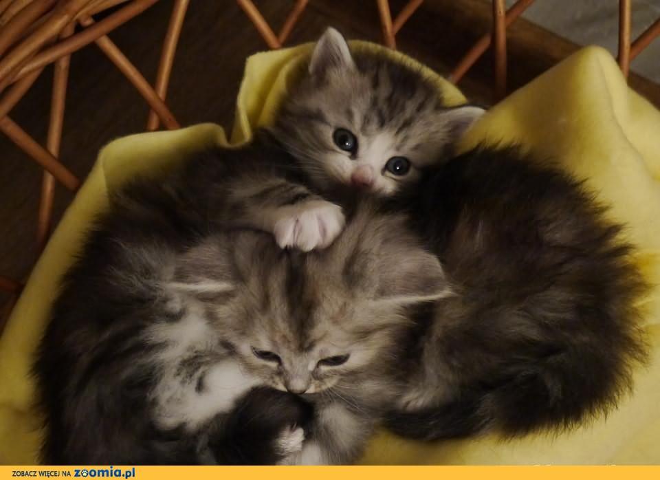 Kocięta syberyjskie, rodowód FIFe