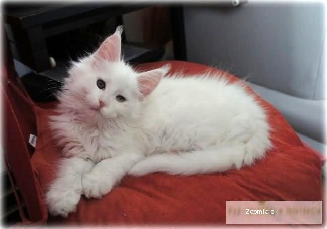 Przepiekny Biały Kocurek Wyjatkowej Urody Maine Coon Koty