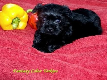 Yorkshire Terrier Black_Czarodziejskie Czarnuszki_Chłopcy i Dziewczynki