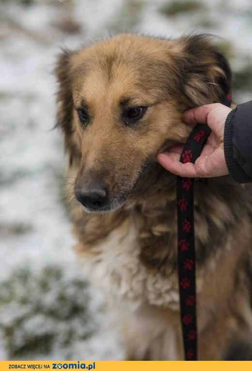 Kamelia pies w sam raz, dla miłośników dużych ras!,  lubuskie Zielona Góra