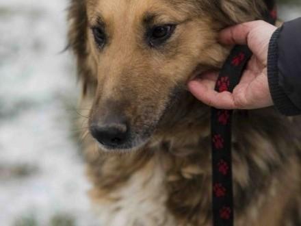 Kamelia pies w sam raz  dla miłośników dużych ras!   lubuskie Zielona Góra