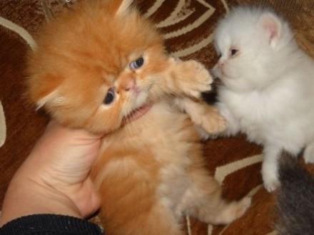 Kotek perski   śląskie Starachowice