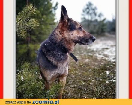 Stróżujący owczarek niem_mix 6 letni zaszczepiony pies HUZAR_Adopcja_