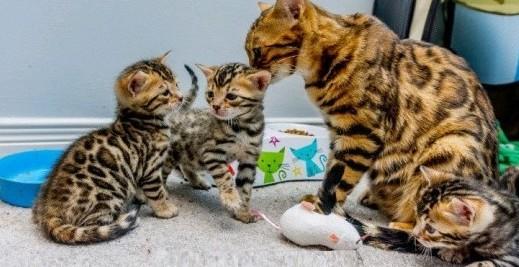 Wspaniałe kocięta bengalskie gotowe na swoje