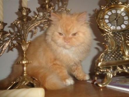 Kot perski persy   małopolskie Mszana Dolna