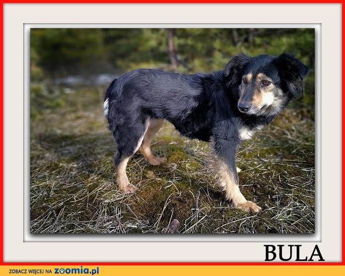 Średnia 14 kg,łagodna,tulaśna,przyjazna,sterylizowana sunia BULA_Adopcja_