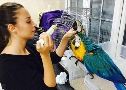 Niebieska i zlota papugi macaws