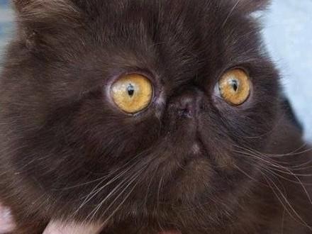 Wyjątkowy kot perski szuka wyjątkowego domu