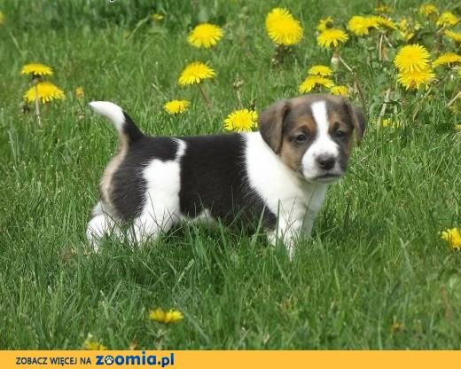 Jack Russel Terrier,  kujawsko-pomorskie Chełmno