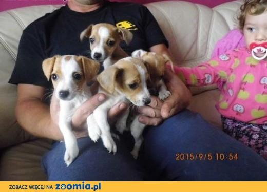 jack russel terrier - słodziaki,  małopolskie Tarnów