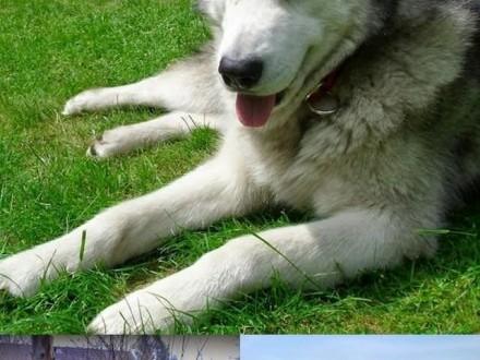 Angelo - piękny pies w typie alaskan malamute szuka domu