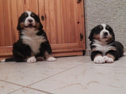 Śliczne szczeniaki Berneński Pies Pasterski!