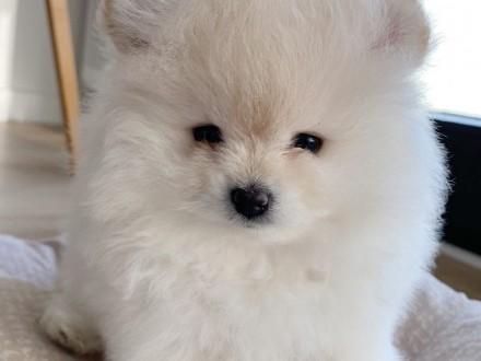 Szpic Miniaturowy Pomeranian Dziewczynka FCI