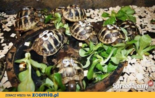 Sprzedam żółwie greckie dowóz cała Polska,  pomorskie Gdańsk
