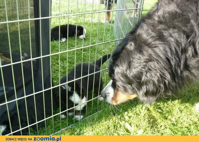 Bernese mountain dog puppies with pedigree