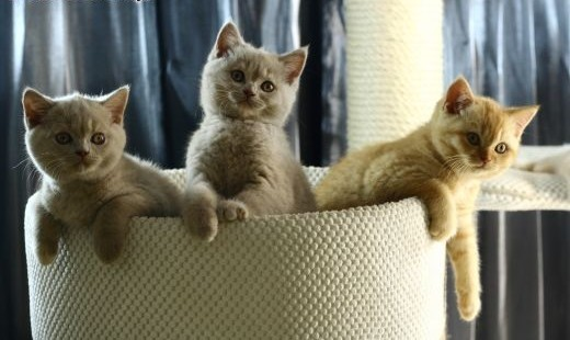 Kocieta Brytyjskie Krótkowłose -  dziewczyny   Koty brytyjskie cała Polska