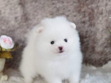 Szpic miniaturowy Pomeranian Szczeniaczki