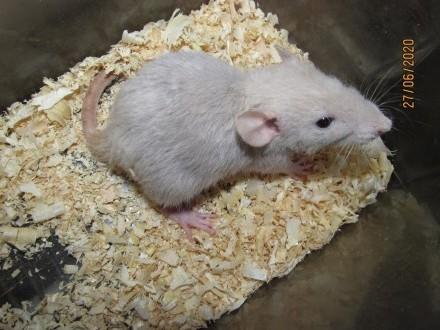 Szczury dumbo  dumbo rex  dumbo fuzz    myszy rasowe