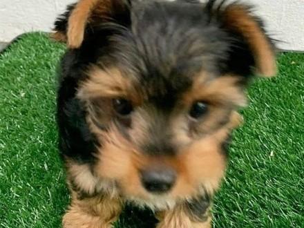 Yorkshire Terrier York / pieski