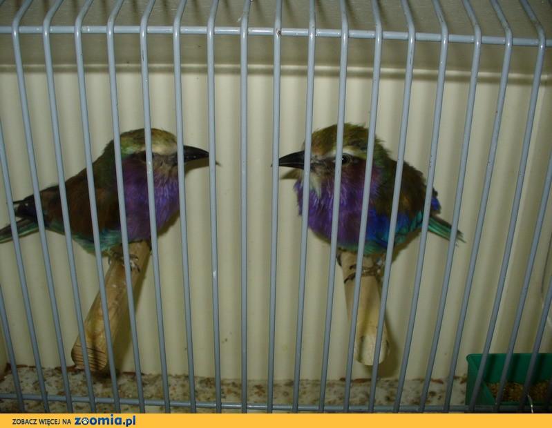 papugi , Drobna egzotyka - Giełda Zwolle