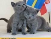 Rosyjski niebieski koty.