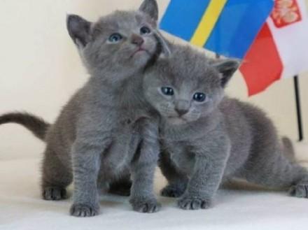 Rosyjski niebieski koty