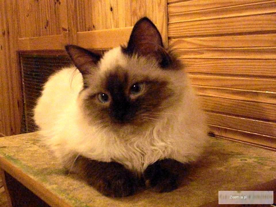Piękny Mały Ragdoll Ragdoll Koty Archiwum Zoomia Pl