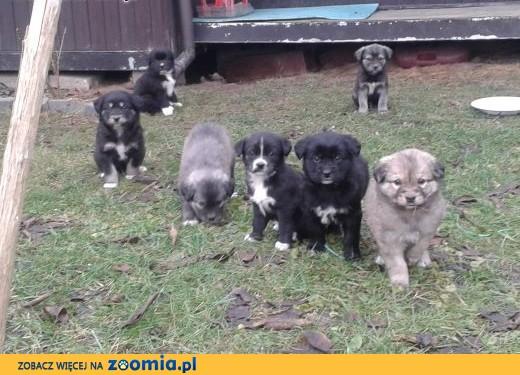 7 szczeniaczków szuka dobrego domu,  mazowieckie Brwinów