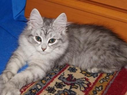 Syberyjska koteczka-Bakopa