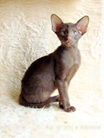 Czekoladowy I Czarny Kocurki Orientalne Syjamski Koty Archiwum