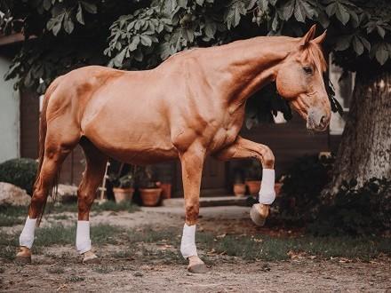 Wydzierżawię super konia
