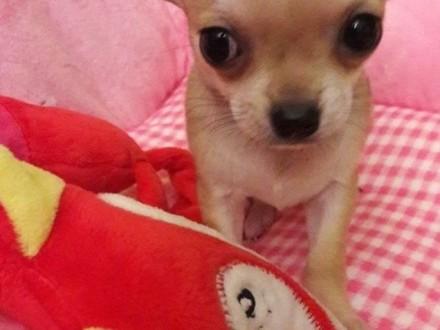 Chihuahua mini z rodowodem!!
