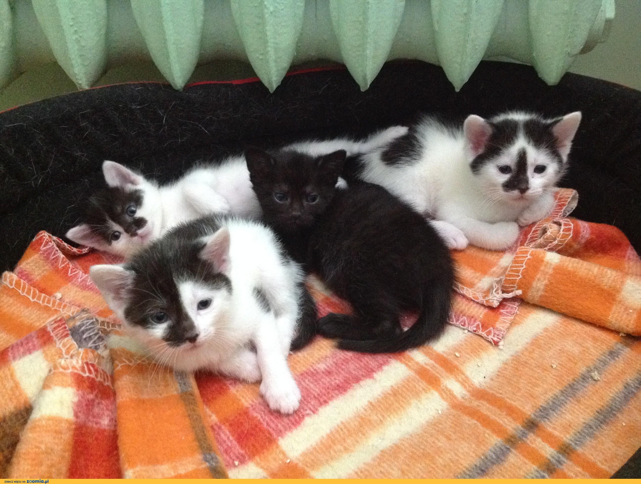 Małe kociaki szukają domów:Czana, Łatek i Łatka